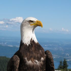 Bald Eagle at grouse mountain vancouver