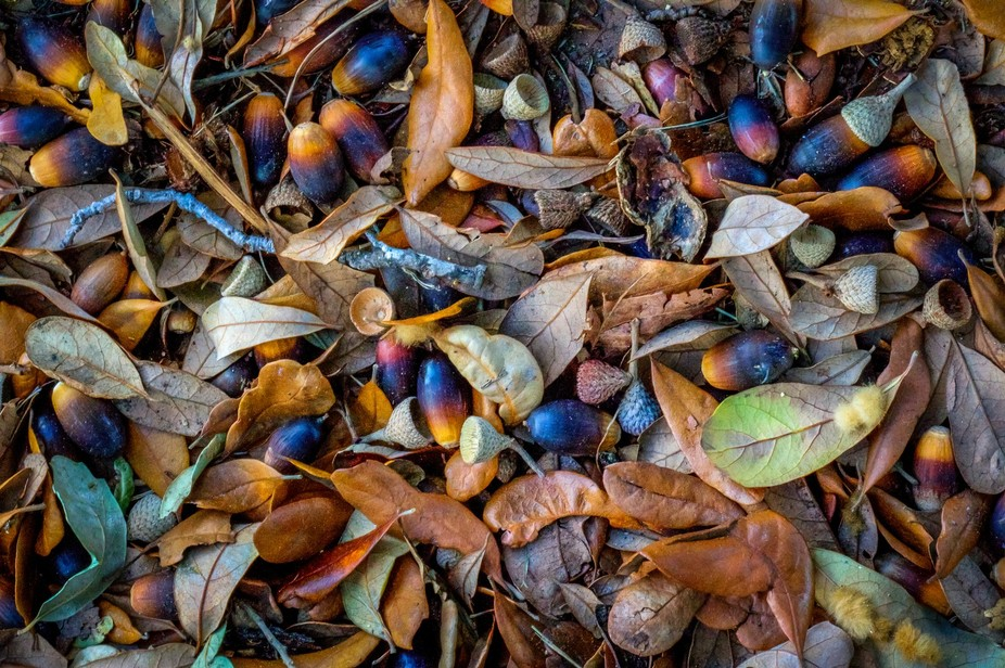 Debris from under the oak tree in my yard.  I liked the colors, photographed it, and left it so t...