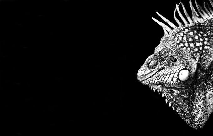 Iguana by EllenWissink - Compositions 101 Photo Contest vol3