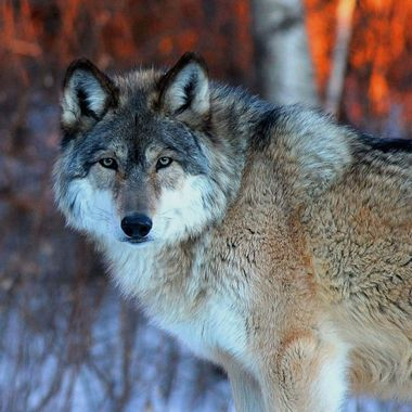 This is Aidan, the pack leader of the Ambassador wolves at the International Wolf Center.