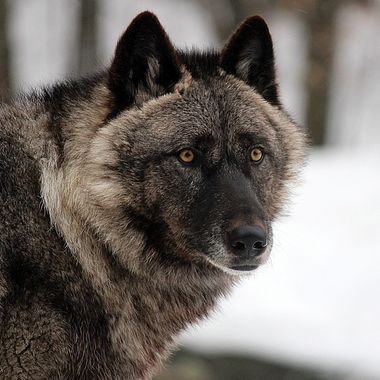This is Luna, the alpha female of the Ambassador wolves at the International Wolf Center.