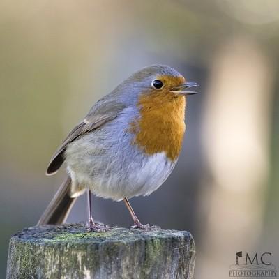 Robin-Perched-2