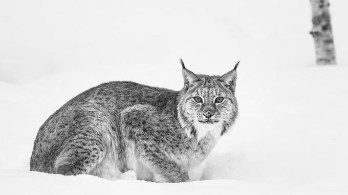Lynx in snow by MadeleineLenagh
