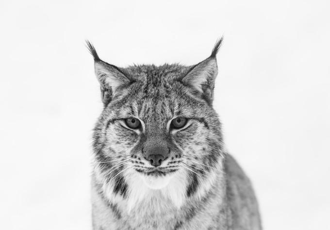 Lynx by MadeleineLenagh