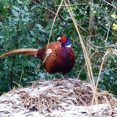 Pheasant on Southrepps Nature Reserve in Norfolk, UK.