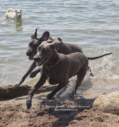 2 Blue Great Dane adults galloping  on sand watched by Husky - Photo by Robson