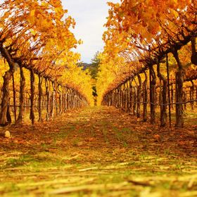 Autumn vineyard colors in Napa Valley
