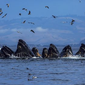 Redid this with less editing.  Lunge feeding in Monterey Bay near Moss Landing