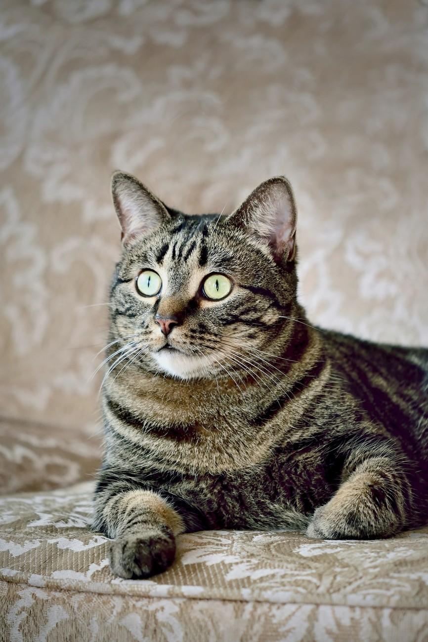 Manx Cat Posing