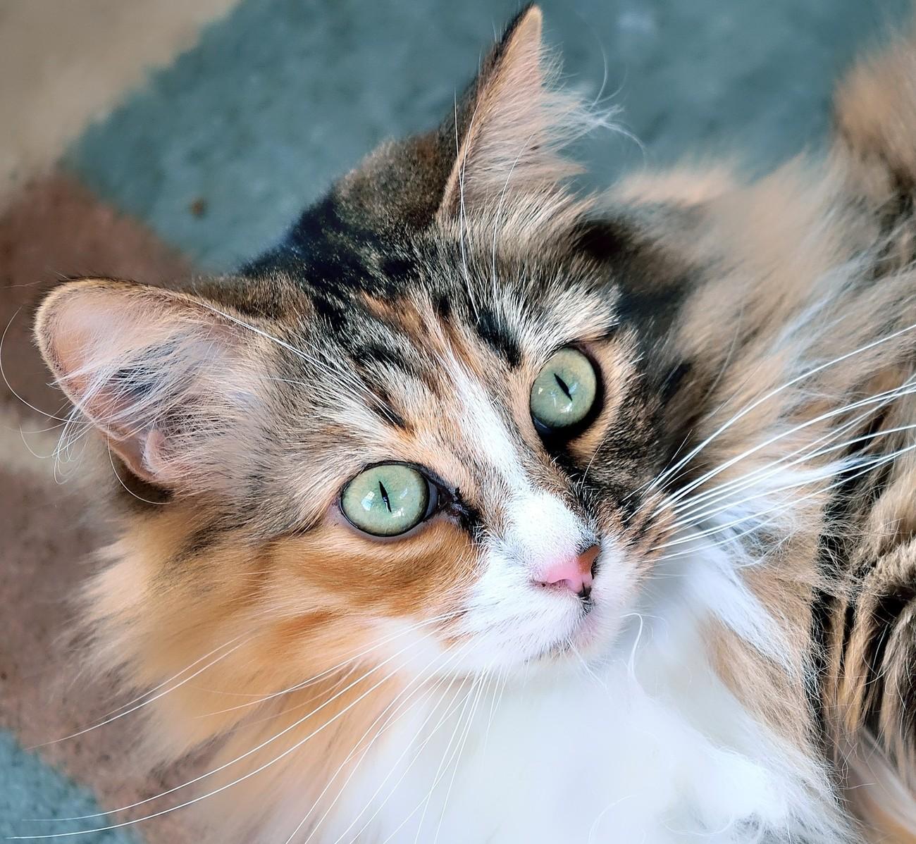 Willow Calico Cat
