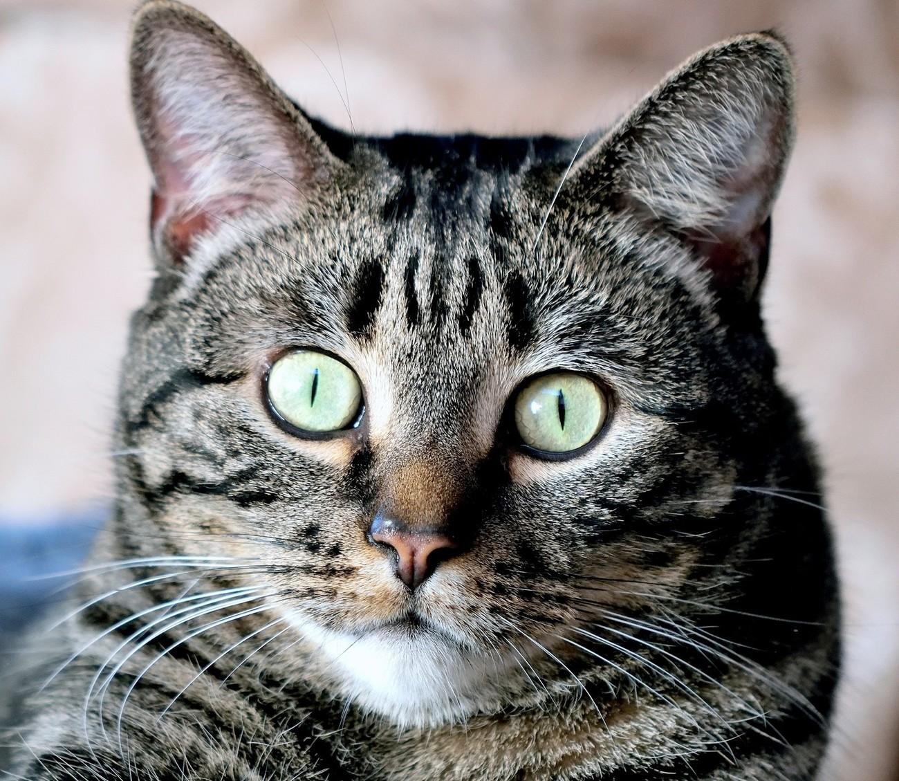 Manx Cat Close Up
