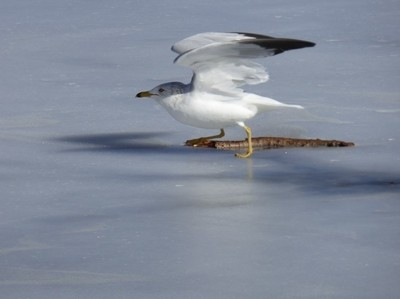 Ring-billed Gull Take Off  from Ice