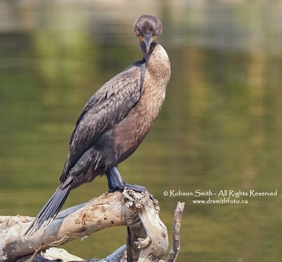 Double-crested Cormorant staring at you -  Phalacrocorax auritus