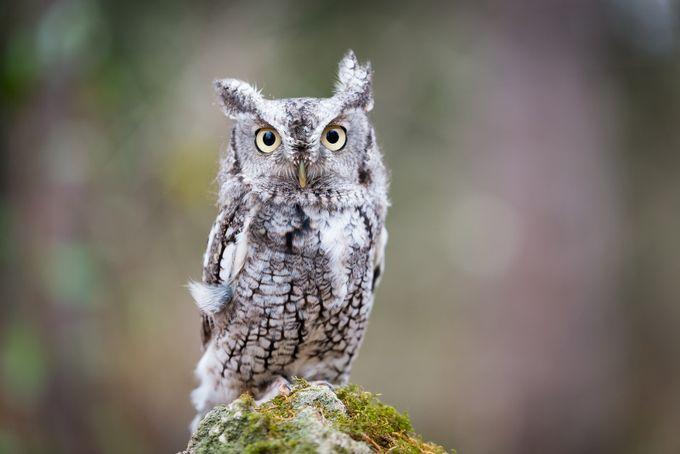 Screech Owl by Kurobom - Beautiful Owls Photo Contest