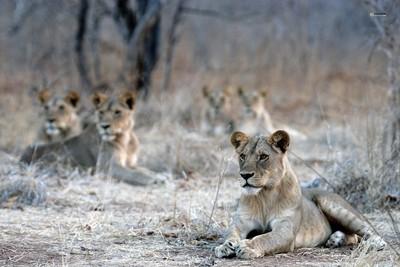 Group of 5 juvenile male lions in Ruaha, Tanzania