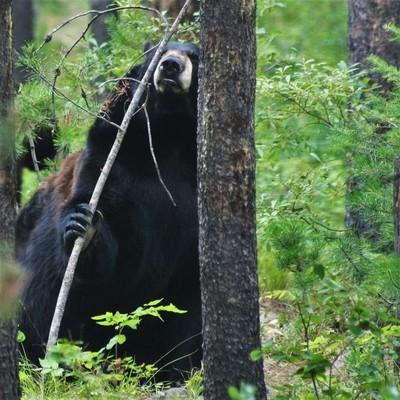 Hiding in Montana's woods.
