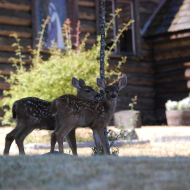 Twin baby deer at old heritage church in Parksville behind Wembley Mall - June 30, 2015