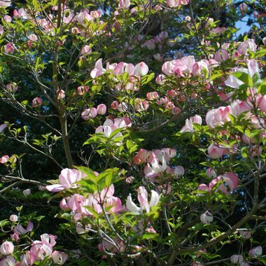 BLOSSOMS for Mother`s Day - May 11, 2014