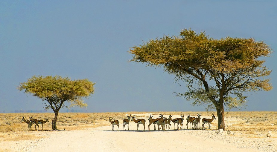 a small drove of springbok's using every inch of shadow.
