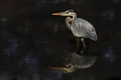 Great Blue Heron_DSC9851