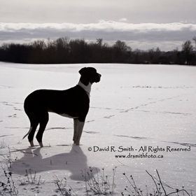 This is a photo of Oreo one of our 2 Male Mantle Great Danes out in a glorious sunny winter day in the Prince Edward County in Ontario during the...