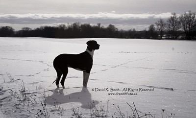 Oreo The Male Mantle Great Dane Surveys His Snowy Field in Prince Edward County - Ontario