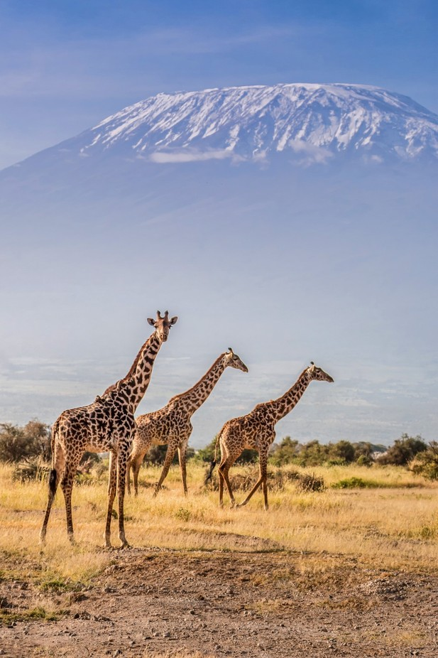 Killie giraffes by jackye - Wildlife Photo Contest 2017