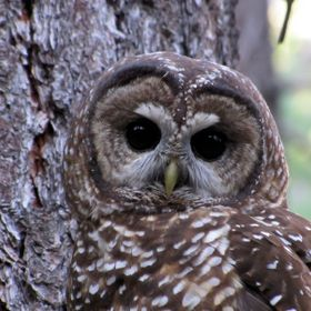 From my older rig in 2011. This owl in the wild was very curious, and at one point landed on my finger briefly.