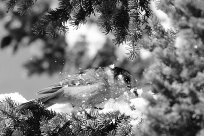 Grey Jay in Snow
