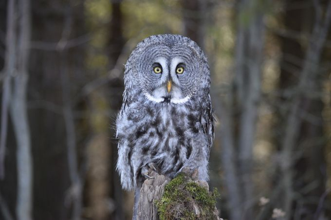 Great Grey Owl by mdonnan - Depth In Nature Photo Contest