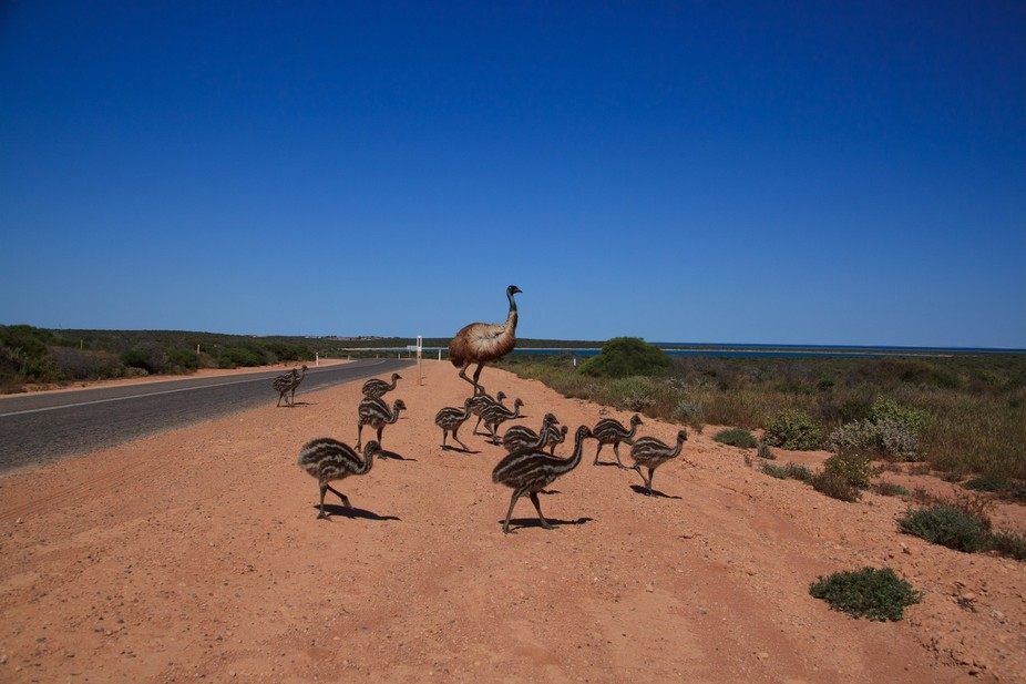 During a trip to Western Australia we came across a baker's dozen of emu babies.