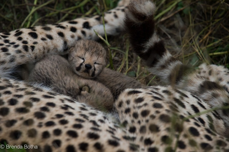 WHEN RETURNING THE FOLLOWING MORNING WE DID NOT EXPECT TO FIND THE MOTHER WITH CUBS STILL IN THE ...
