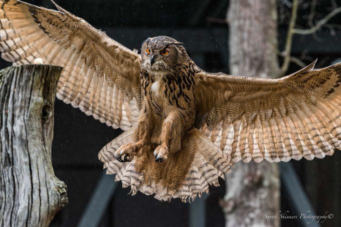 Eurasian Eagle Owl by SShinners - Wildlife Photo Contest 2017