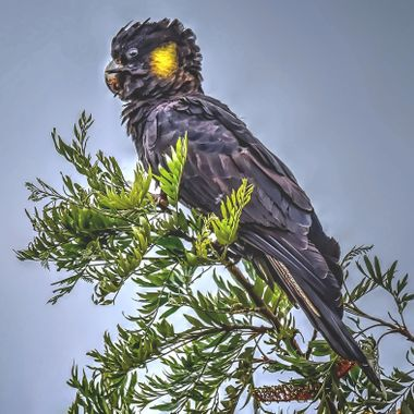 Black Cockatoo (2)
