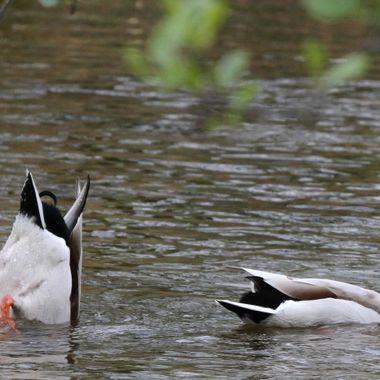 duckin n diven @ Aviemore