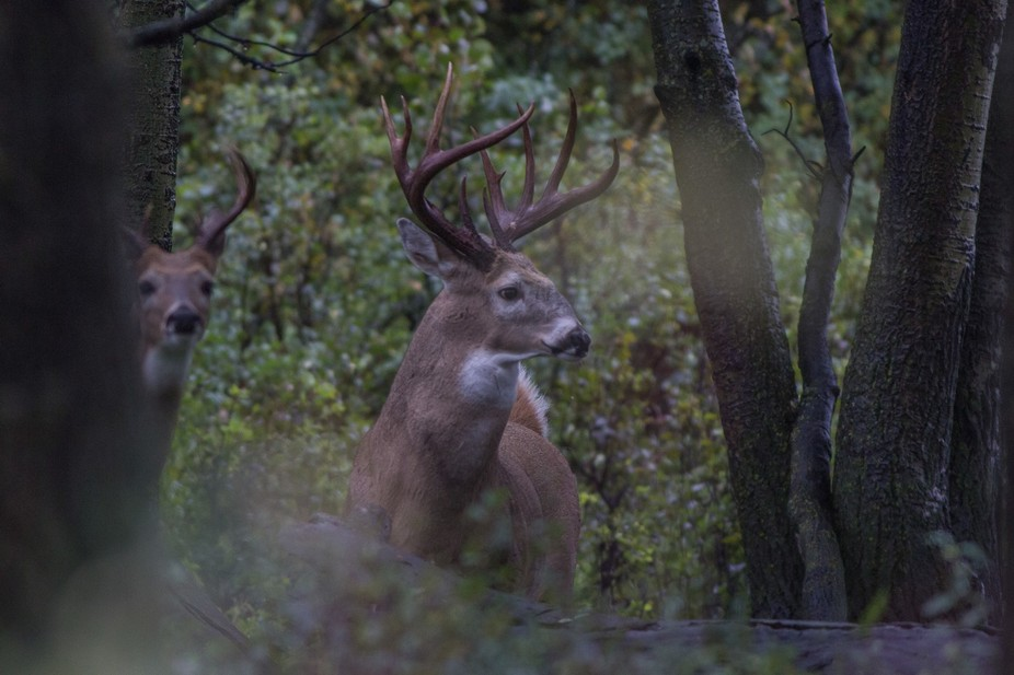 Large whitetail buck with a younger buddy in the rain.