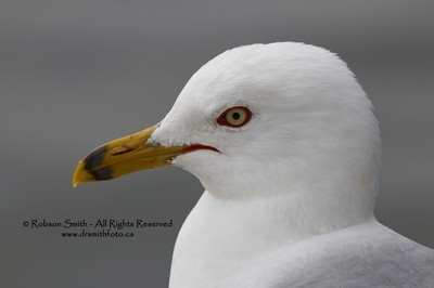 Male Ring-billed Gull head close-up - Larus delawarensis - Photo by Robson Smith