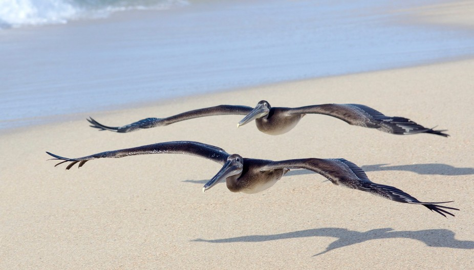 pelicans flying low at Cabo