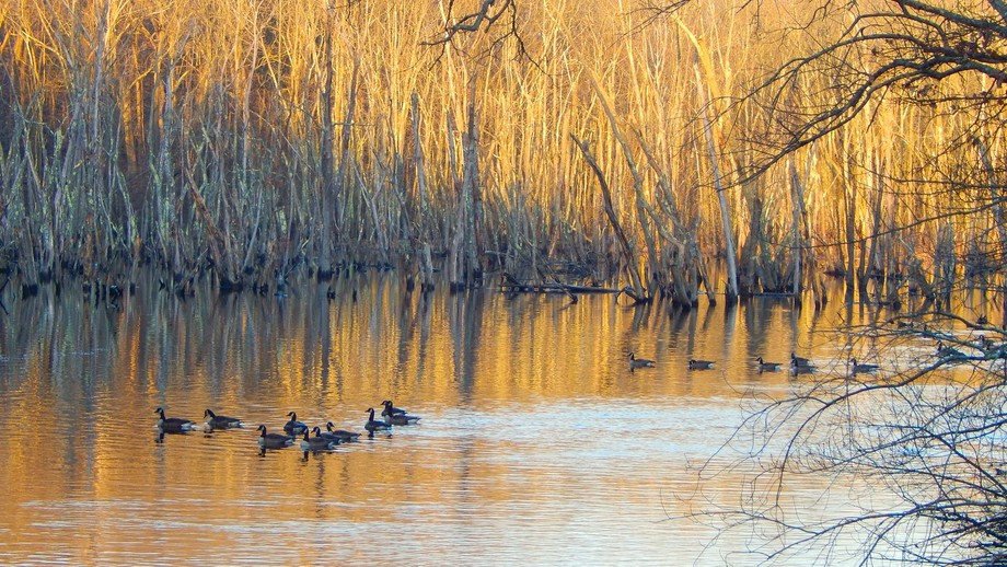 A December morning with Canada geese on the Ipswich River.