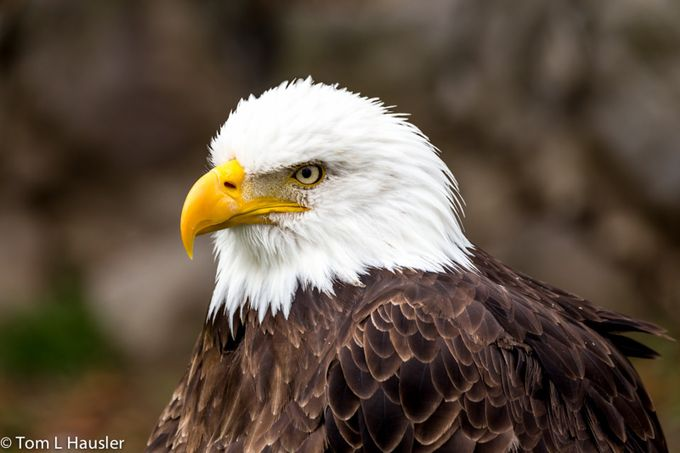 Bald Eagle by tomhausler - Just Eagles Photo Contest
