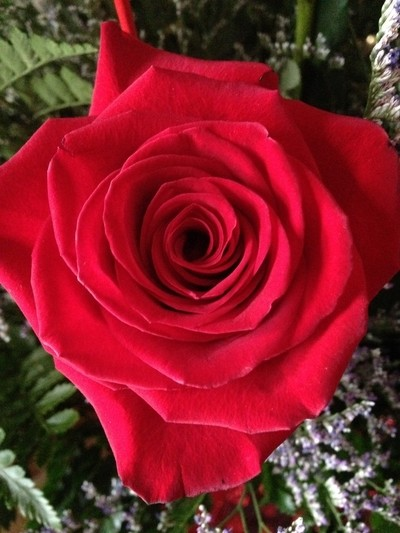 A beautiful single Rose.