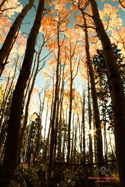 Colorado Autumn Aspens