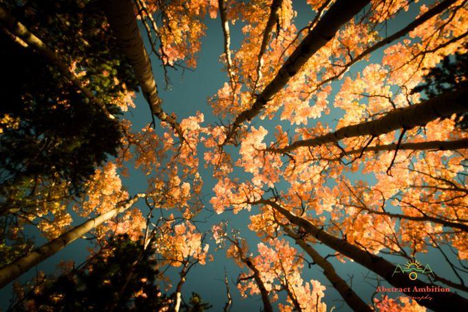Towering Golden Sunshine by landonloewen - Tall Trees Photo Contest