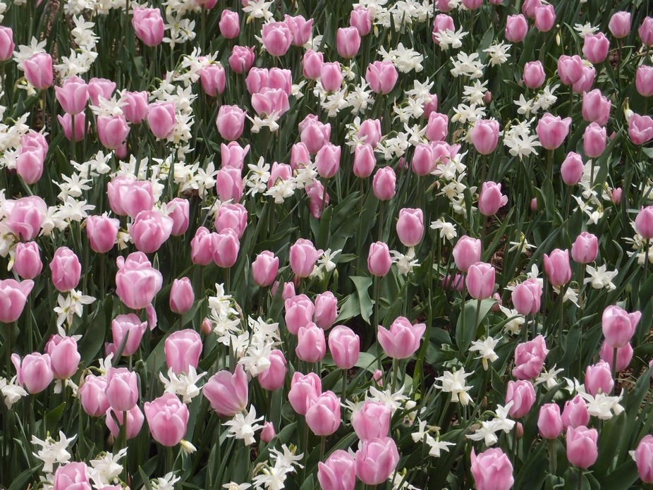 Tulips In Central Park, New York
