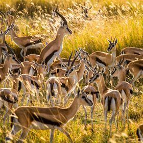 A photo full of life! Thomson Gazelles at the huge grass plains of Serengeti National Park, Tanzania. One of the best places to go if you would l...