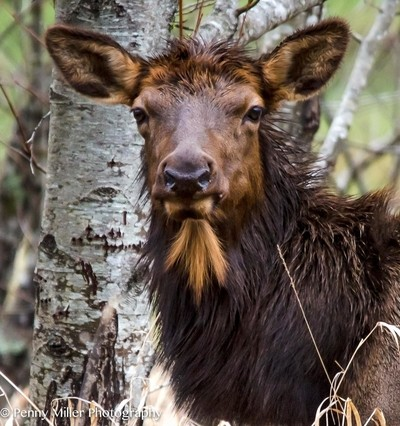 Bearded Cow Elk