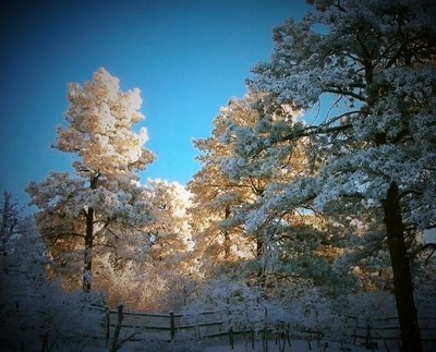 THE TREES OF WINTER