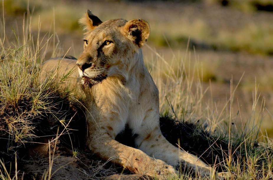 Shompole Lion 2