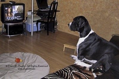 Oreo The Male Mantle Great Dane Watching his favourite TV Programme - Photo by David R. Smith