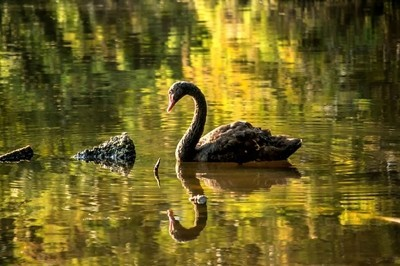 black austrialian swan